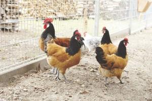 Die Hühner warten schon auf ihr Futter