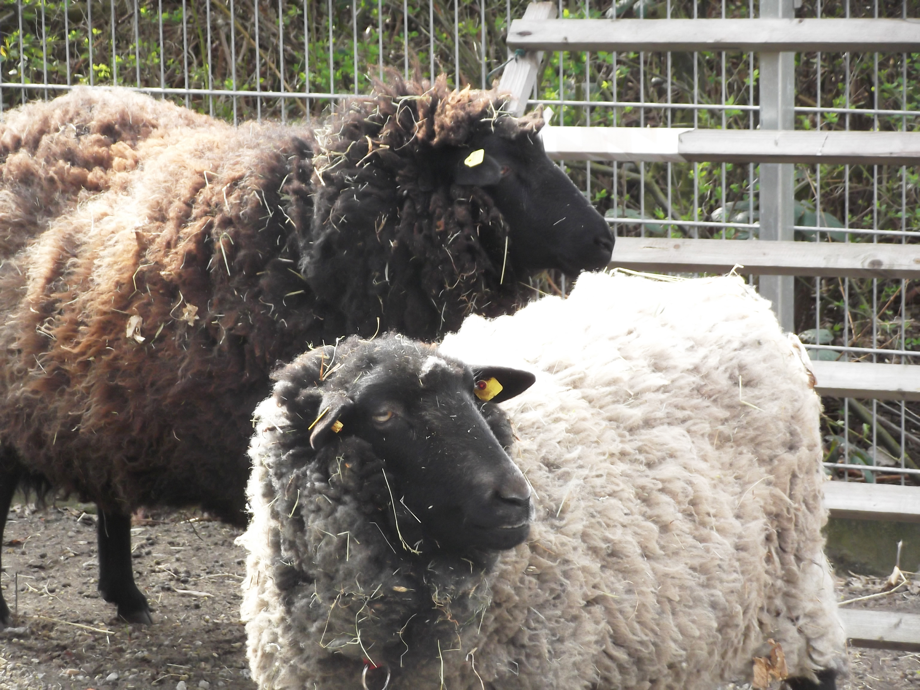 Was geschieht eigentlich  mit der Wolle von unseren  Schafen Tilla und Emmi?
